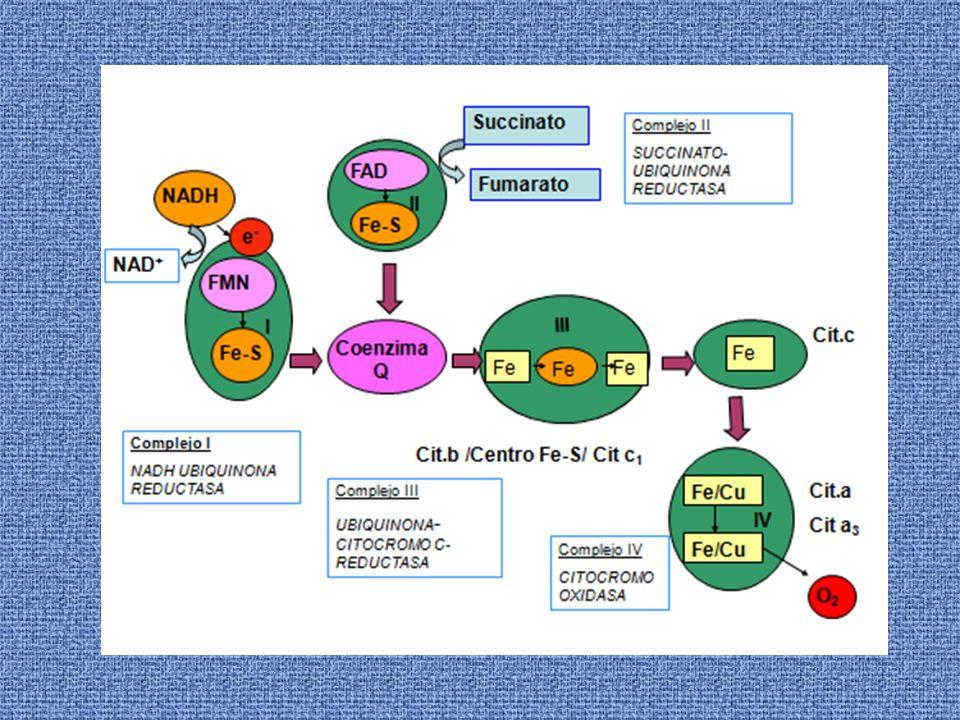 La Cadena de Transporte de Electrones comprende dos procesos: 1.- Los electrones son transportados a lo largo de la membrana, de un complejo de proteínas transportadoras a otro.
