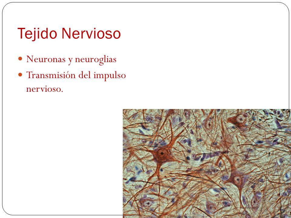Tejido Nervioso Neuronas y neuroglias Transmisión del impulso nervioso.