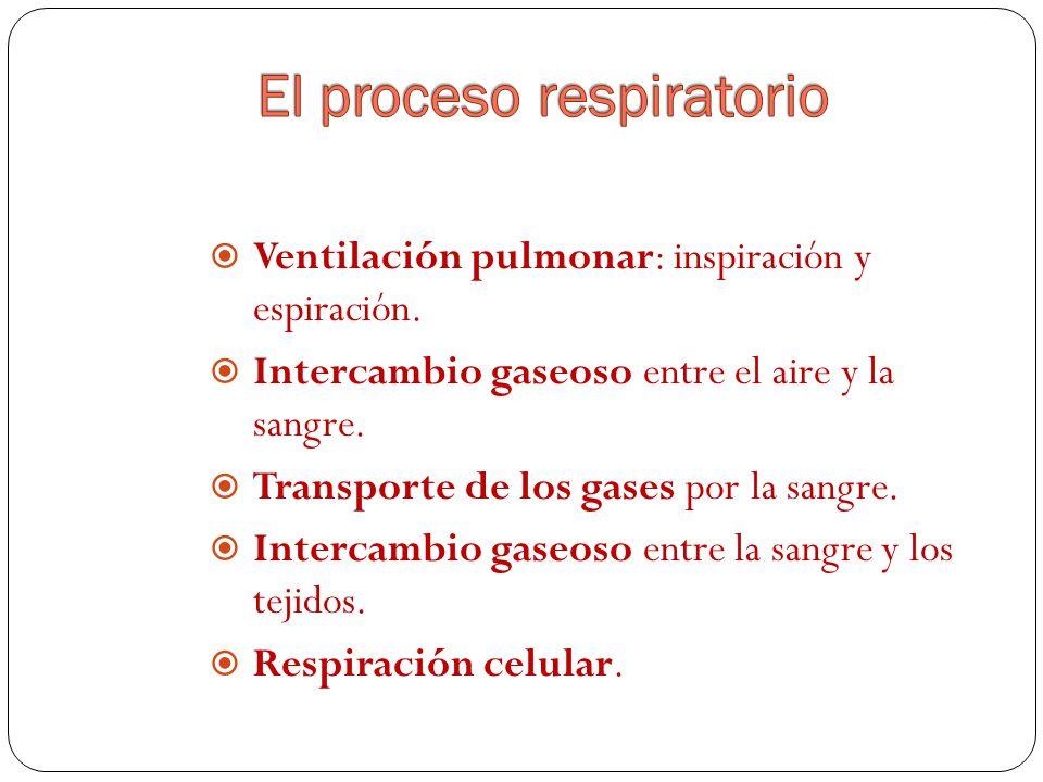 Ventilación pulmonar: inspiración y espiración.Intercambio gaseoso entre el aire y la sangre.