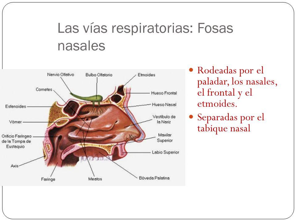 Las vías respiratorias: Fosas nasales Rodeadas por el paladar, los nasales, el frontal y el etmoides.