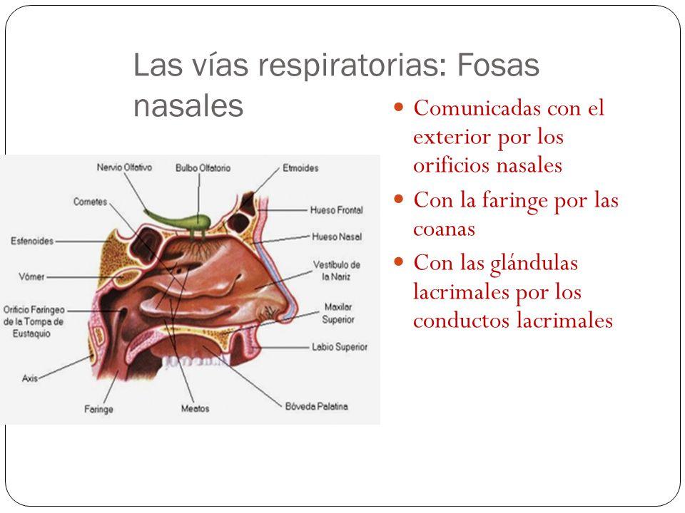 Las vías respiratorias: Fosas nasales Comunicadas con el exterior por los orificios nasales Con la faringe por las coanas Con las glándulas lacrimales por los conductos lacrimales