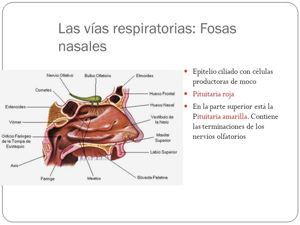 Las vías respiratorias: Fosas nasales Epitelio ciliado con células productoras de moco Pituitaria roja En la parte superior está la Pituitaria amarilla.