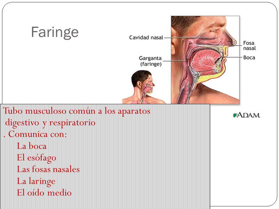 Faringe Tubo musculoso común a los aparatos digestivo y respiratorio.
