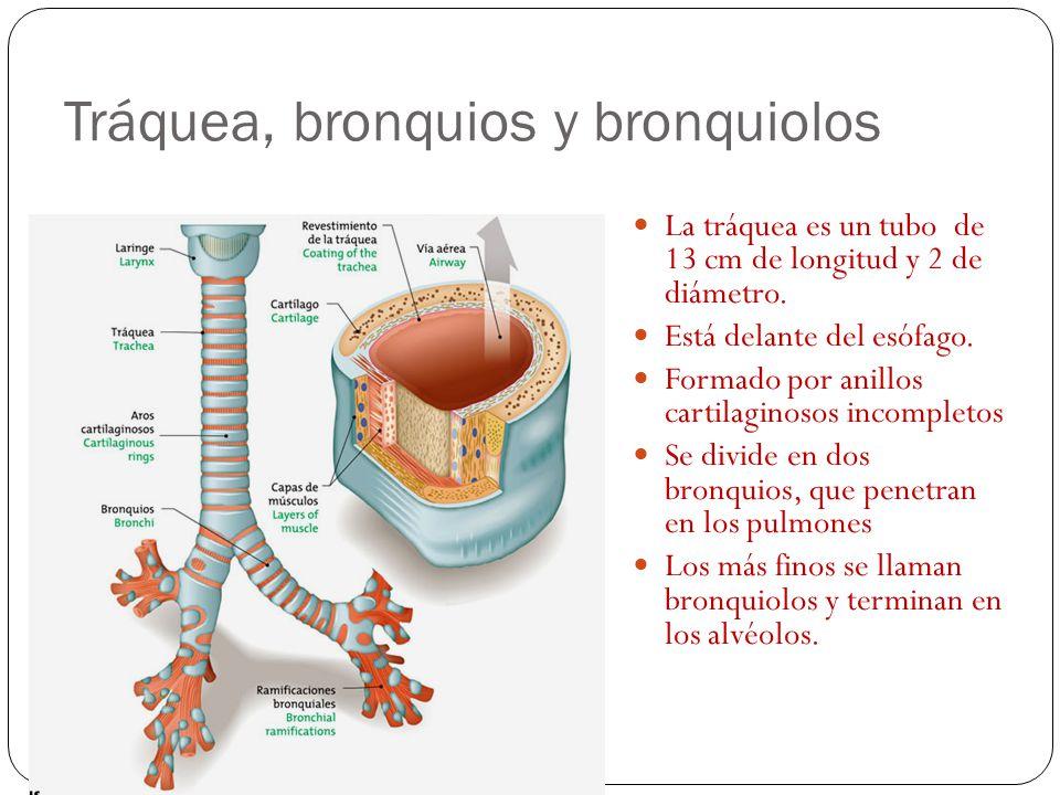 Tráquea, bronquios y bronquiolos La tráquea es un tubo de 13 cm de longitud y 2 de diámetro.