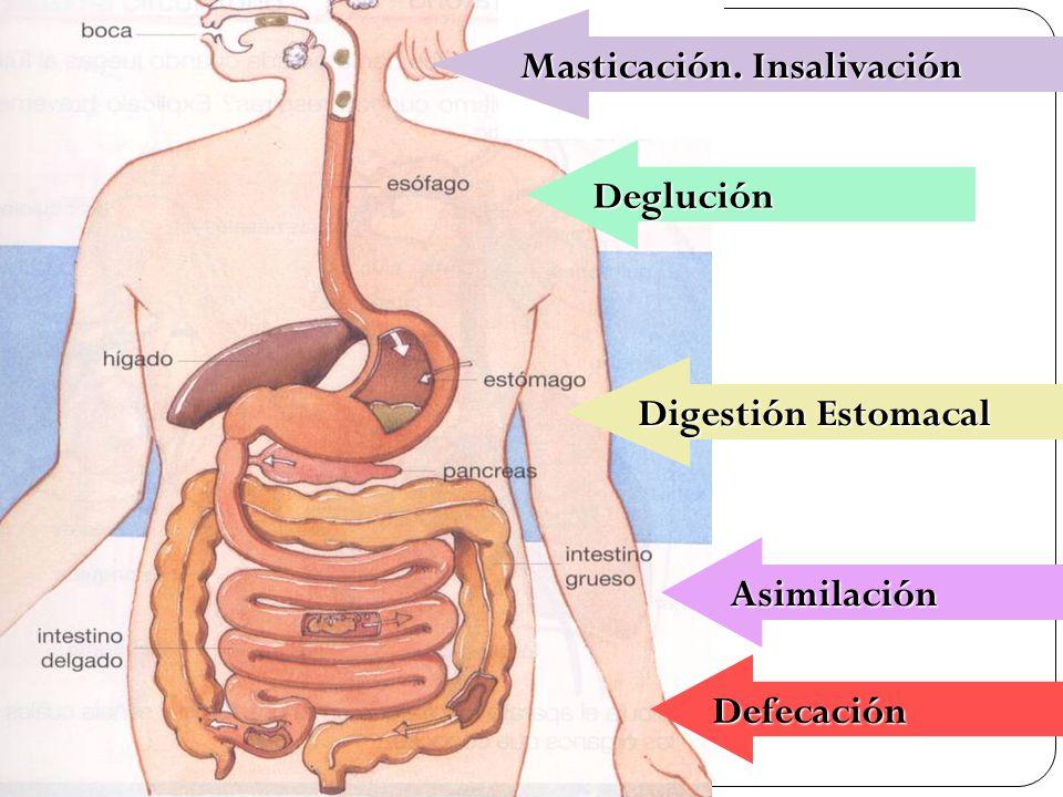 38 Deglución Digestión Estomacal Asimilación Asimilación Masticación. Insalivación Defecación