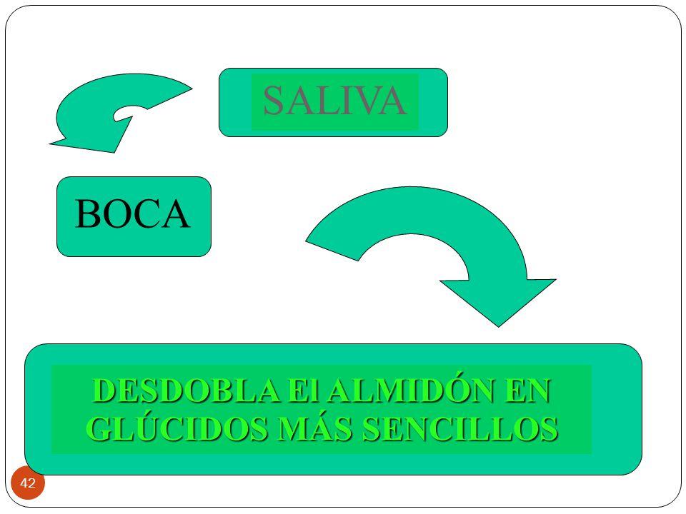 42 SALIVA DESDOBLA El ALMIDÓN EN GLÚCIDOS MÁS SENCILLOS BOCA