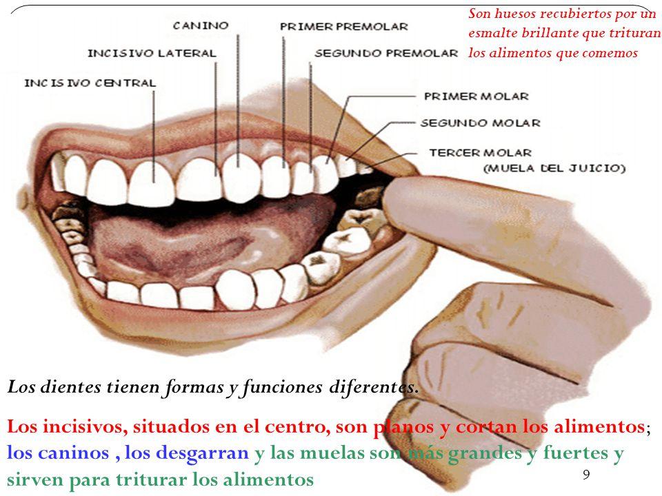 43 Los dientes tienen formas y funciones diferentes.