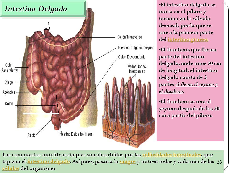 50 Intestino Delgado Los compuestos nutritivos simples son absorbidos por las vellosidades intestinales, que tapizan el intestino delgado.