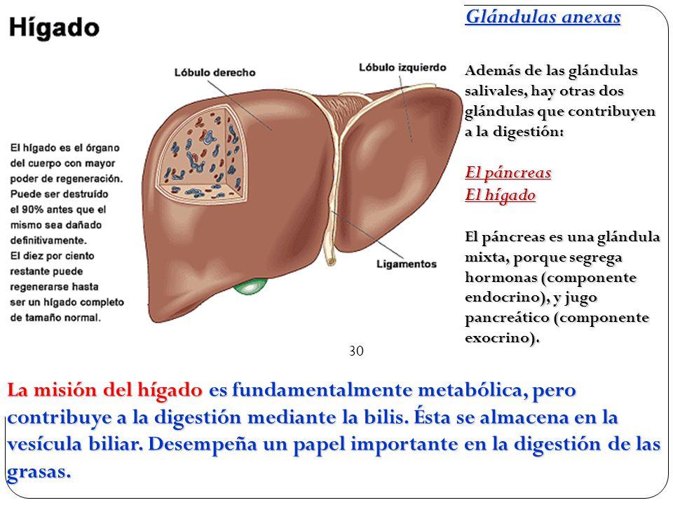 Glándulas anexas Además de las glándulas salivales, hay otras dos glándulas que contribuyen a la digestión: El páncreas El hígado El páncreas es una glándula mixta, porque segrega hormonas (componente endocrino), y jugo pancreático (componente exocrino).