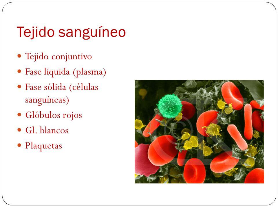 Tejido sanguíneo Tejido conjuntivo Fase liquida (plasma) Fase sólida (células sanguíneas) Glóbulos rojos Gl.