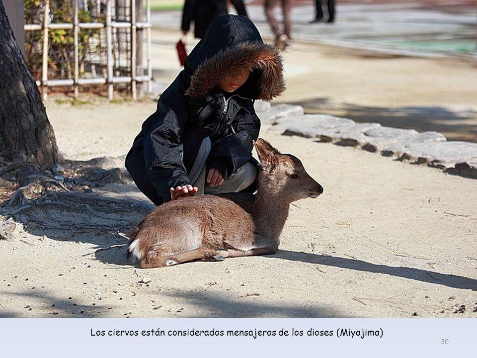 Los ciervos están considerados mensajeros de los dioses (Miyajima) 30