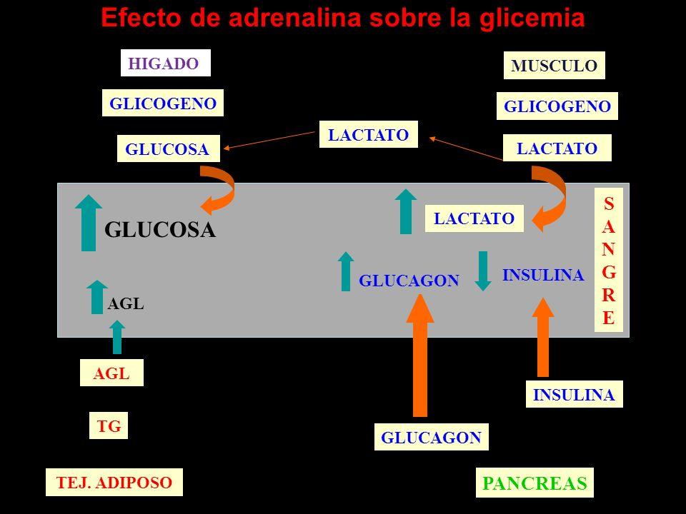 ACCIONES DE LAS HORMONAS CATECOLAMÍNICAS Receptores betaReceptores alfa Glucogenolisis Gluconeogénesis 1 Utilización de glucosa Lipolisis y cetosis 1 Calorigénesis 1 Secreción de insulina 2 Secreción de Insulina 2 Secreción de glucagón 2 Captación muscular de potasio 2 Metabólicas