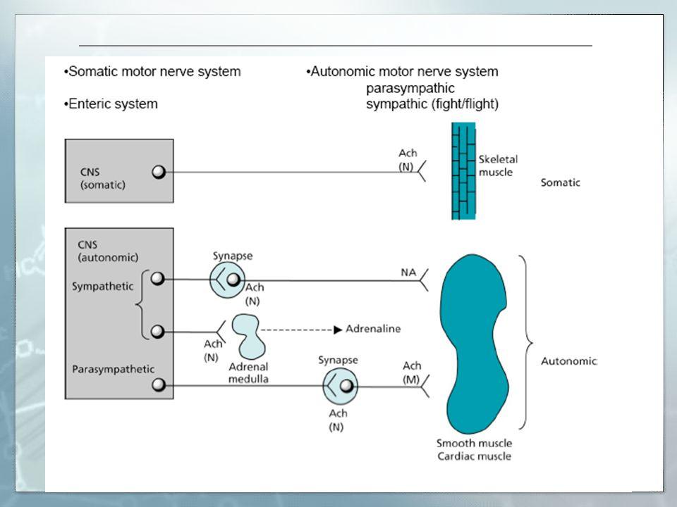 Introducción La ACh es el neurotransmisor entre la fibra pre ganglionar La fibra post ganglionar libera Norepinefrina que actúa uniéndose al receptor.