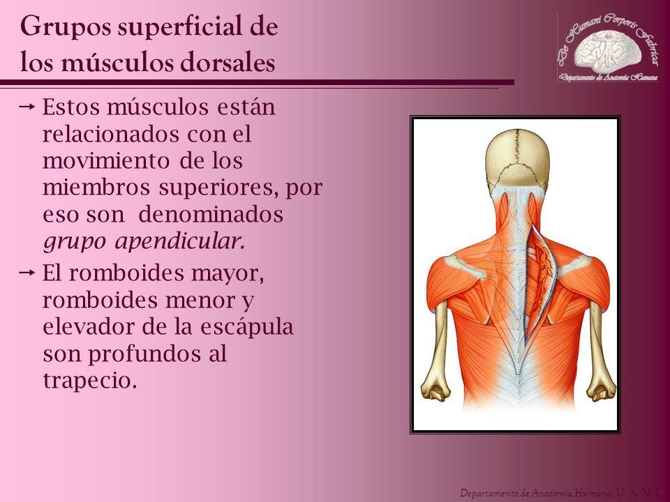 Departamento de Anatomía Humana, U.A. N. L. Los músculos del grupo superficial son: - Trapecio.