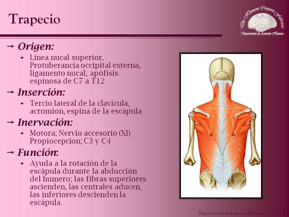 Departamento de Anatomía Humana, U.A. N. L. Es un músculo grande, aplanado y triangular.