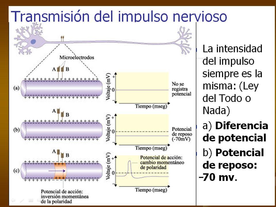 Responde las preguntas en tu cuaderno ¿Qué carga presenta el medio interno de la neurona durante el potencial de reposo?, ¿y que carga presenta el medio externo.