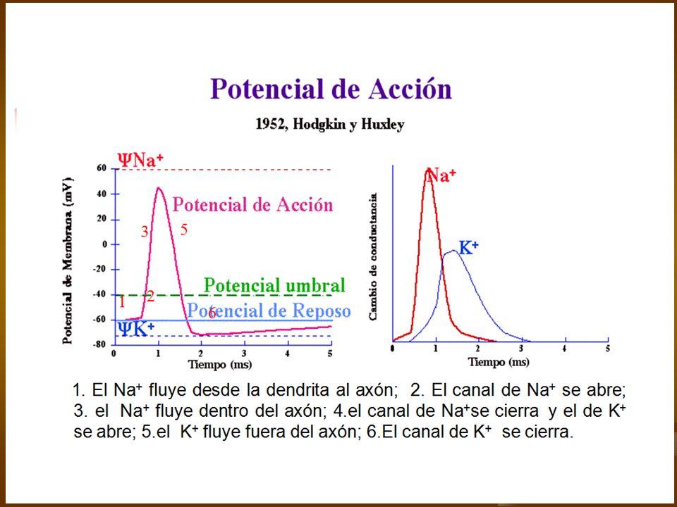 Impulso Nervioso El potencial de acción viaja a lo largo de la membrana plasmática de la neurona constituye el impulso nervioso El potencial de acción viaja a lo largo de la membrana plasmática de la neurona constituye el impulso nervioso Ley del todo o nada Ley del todo o nada