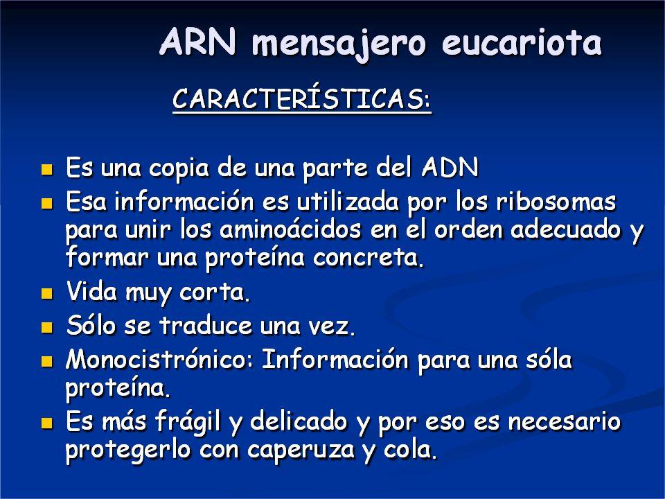 DIFERENCIAS EN LA TRANSCRIPCIÓN EN PROCARIOTAS Y EUCARIOTAS EN LOS PROCARIOTAS: NO existe Maduración por lo que el ARN m NO tiene : NI Caperuza.