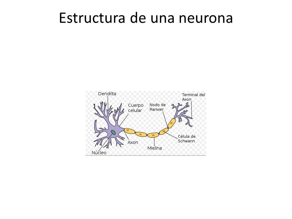 El cuerpo de la neurona o Soma contiene el núcleo.