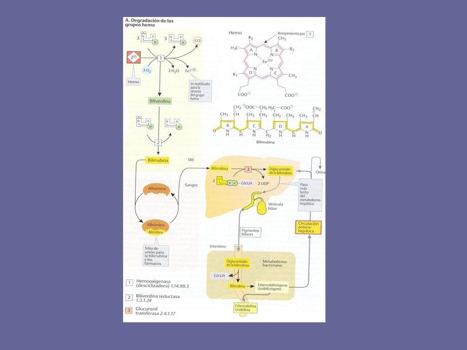 ICTERICIA Pigmentación amarilla de la piel La ictericia es el resultado de la acumulación de bilirrubina: la hiperbilirrubinemia se puede deber a anormalidades en la formación, transporte, metabolismo y excreción de la bilirrubina.