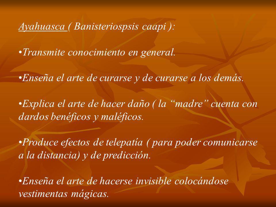 Toé (Brugmansia suaveolens): Transmite conocimiento igual que el Ayahuasca.