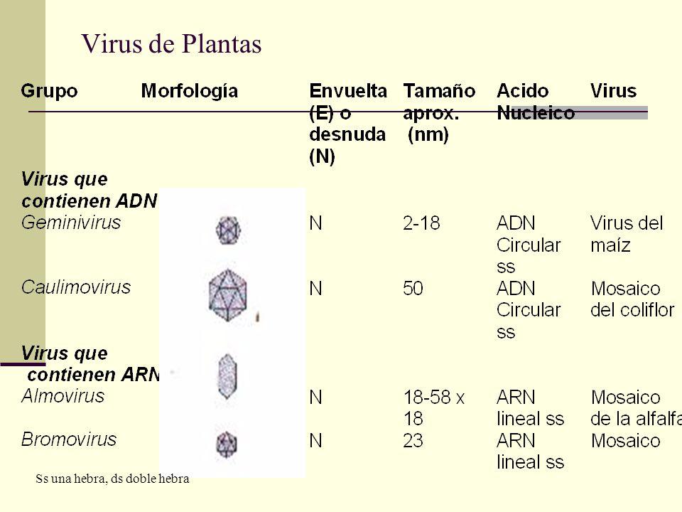 Virus de Plantas Ss una hebra, ds doble hebra