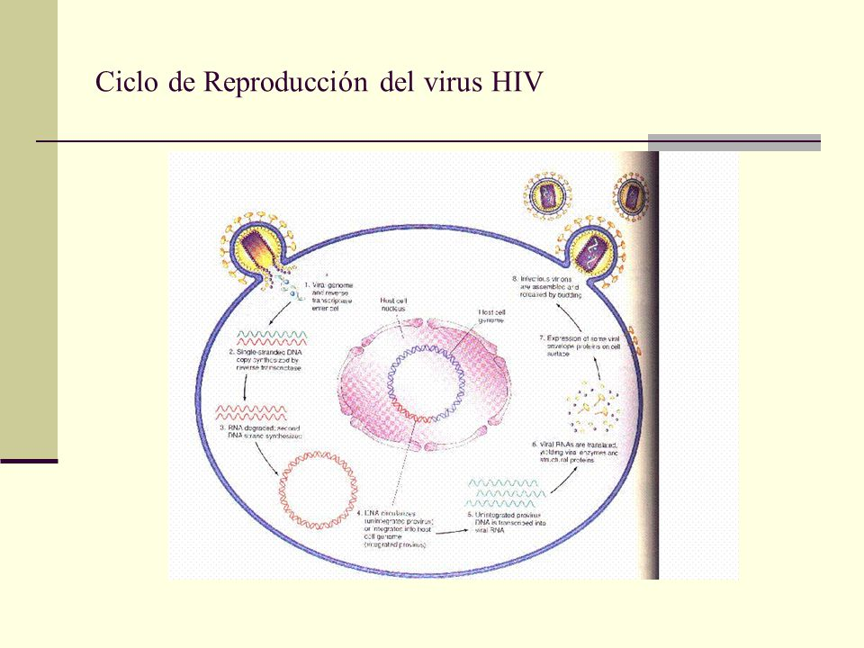 Ciclo de Reproducción del virus HIV