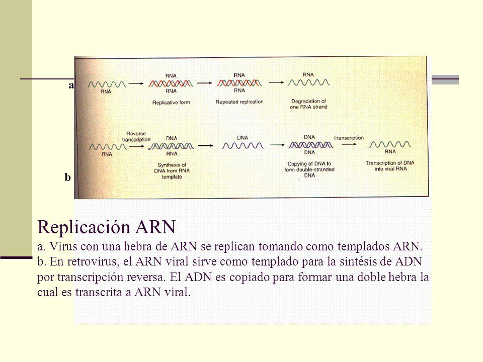 Replicación ARN a.Virus con una hebra de ARN se replican tomando como templados ARN.