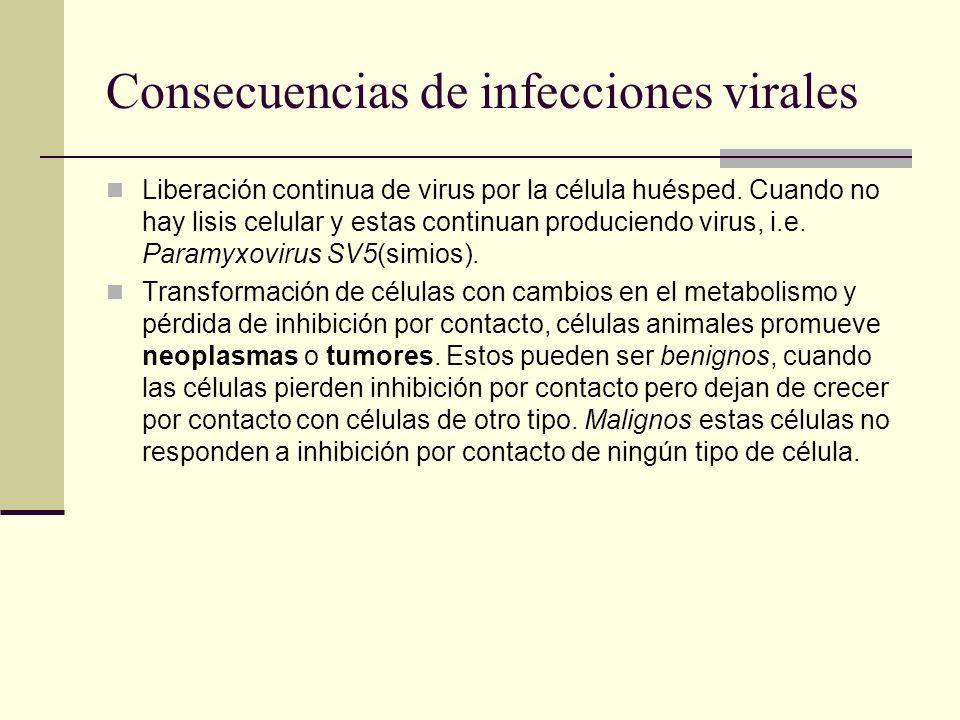 Consecuencias de infecciones virales Liberación continua de virus por la célula huésped.