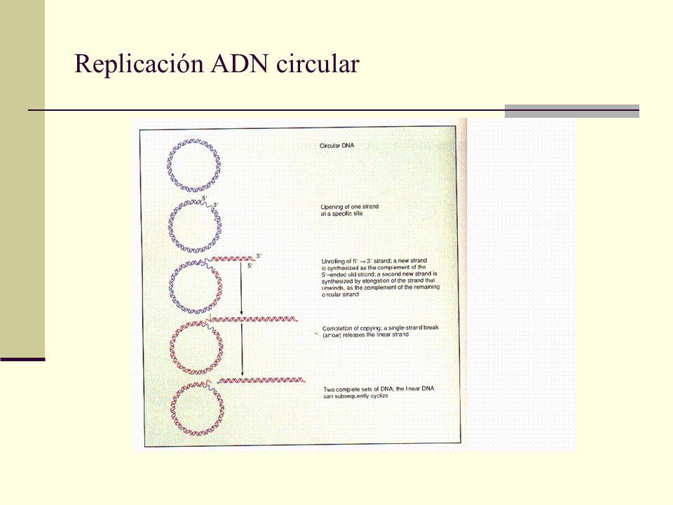 Replicación ADN circular