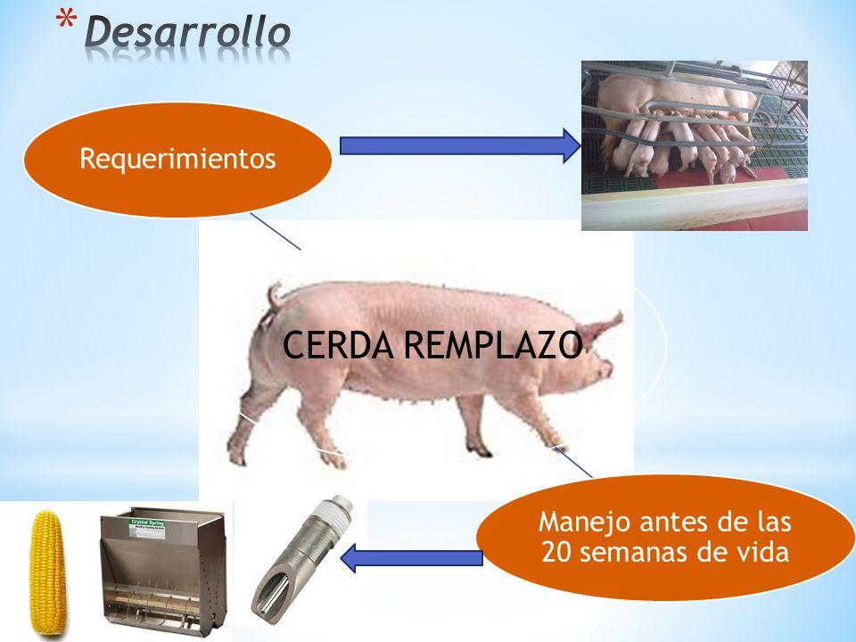 CERDA REMPLAZO Parámetros zootécnicos de la cerda 1050 PARÁMETROSMETA PIC Fertilidad promedio, %92 % Nº partos /hembra /año2,5 Nº nacidos totales/hembra/parto13 Nº nacidos vivos/hembra/parto12,05 % nacidos muertos/hembra/parto3 %momificados/hembra parto1,5 Mortalidad maternidad, %8 % Mortalidad hembras, %6 % Nº de destetados/hembra/parto11,05 Nº días – cerda no productivos19 Peso promedio al nacer, kg1.5 Peso promedio al destete, kg6,1 Edad promedio al destete, días21 % Chanchillas cubiertas con celo90 % % Chanchillas que llegan a 2° parto85 % % Reemplazo45-50 %