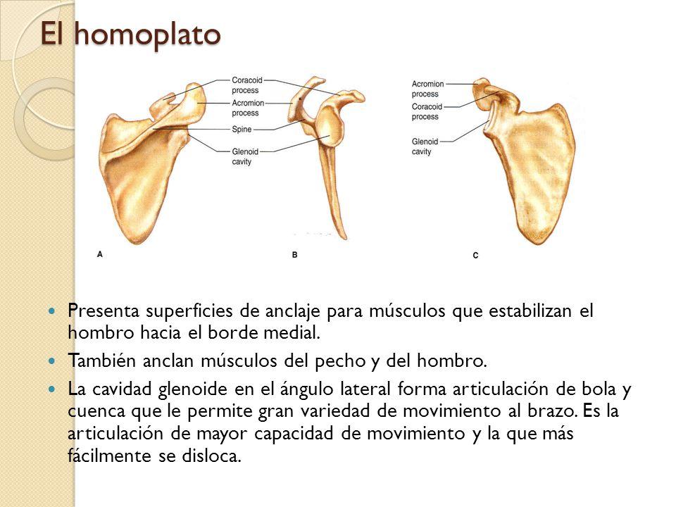 Extremidades superiores: Brazos Húmero: El hueso más largo de la parte superior del esqueleto.
