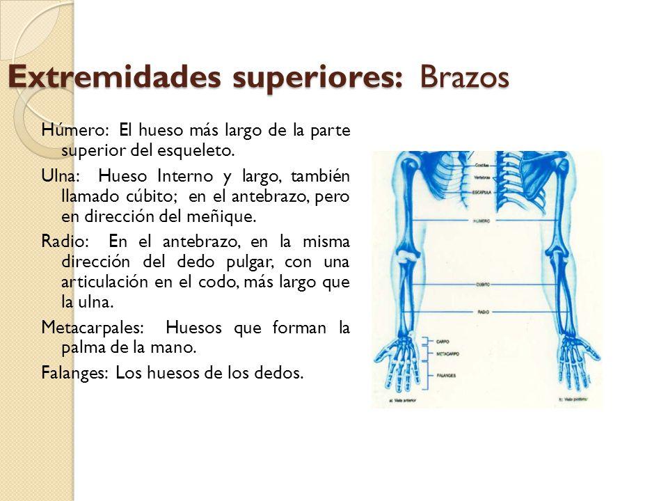 Cintura pélvica Formada por los huesos coxales.