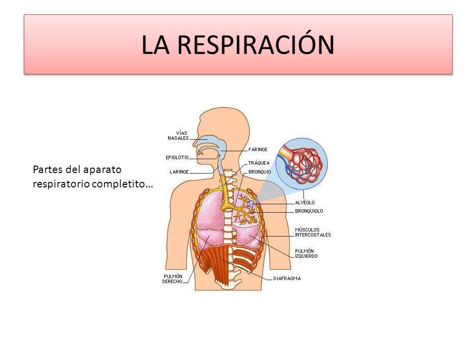La respiración y el aparato respiratorio.