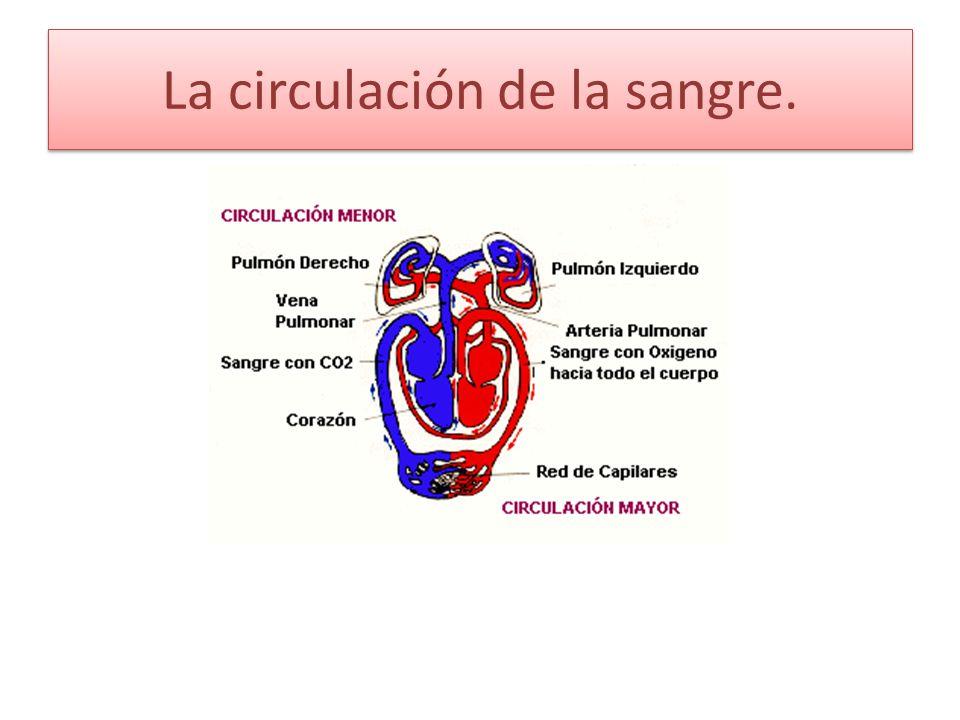 ¿Qué es la circulación de la sangre.