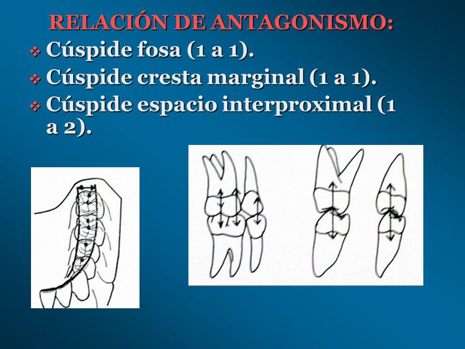 Cúspide cresta marginal Cúspide espacio interproximal