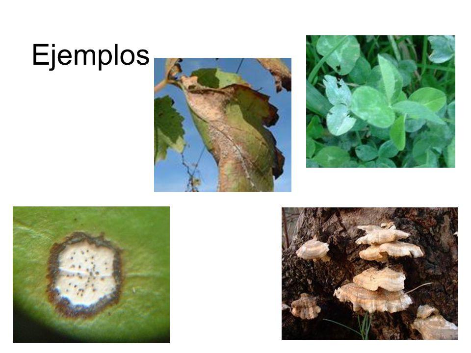 Myxmycota Mohos mucilaginosos – saprófitos Ej.Physarum sp.