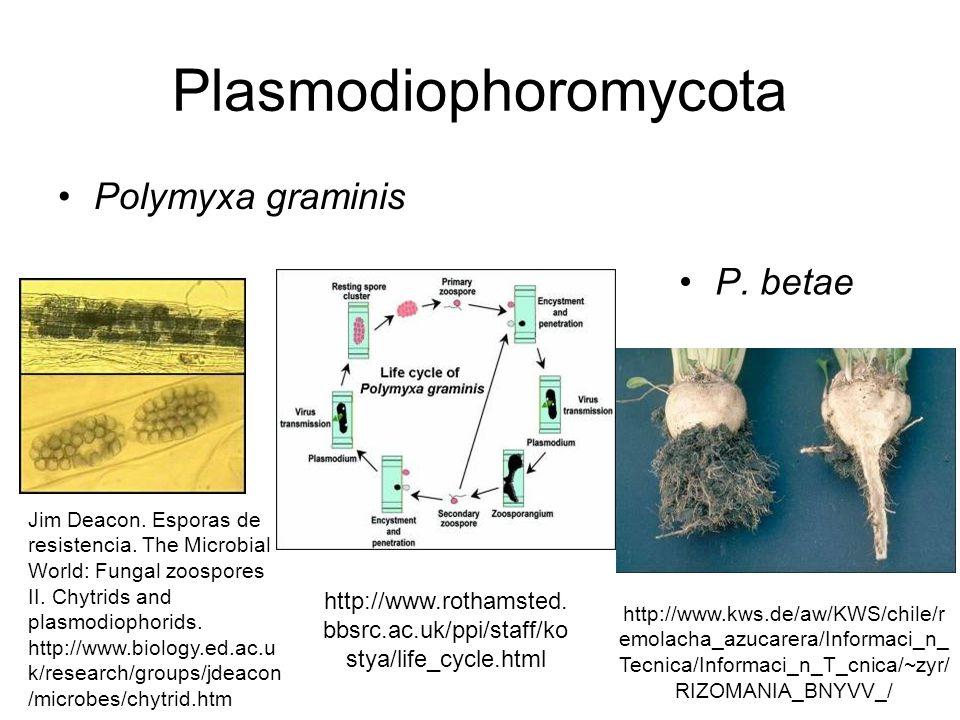 Stramenopila - Oomycota Zoospora con 2 flagelos Leptomitales Saprolegnales Rhipidiales Lagenidiales Peronoporales INRA.