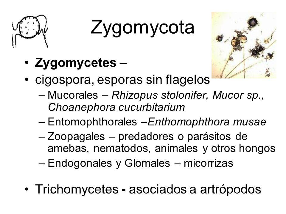 Ascomycota Asca con ascosporas – generalmente 8 Ascomycetes libres, asociados formando líquenes y ascomycetes asexuales Gran número de fitopatógenos Simbiontes o parásitos de insectos: Beauveria, Metarrhizium, Fusarium