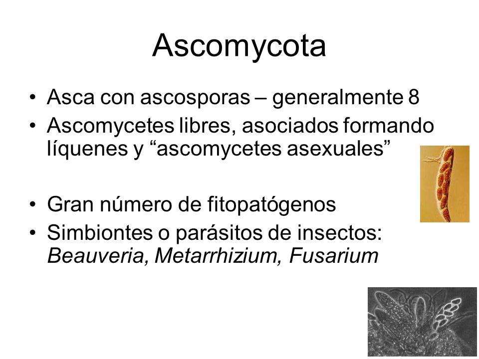 Ascomycota Archiascomycetes – Taphrina y otros Saccharomycetales – levaduras Eremothecium – algodón, poroto, tomate, nueces Ascomycetes filamentosos – con ascocarpos ¿Deuteromycetes o Fungi Imperfecti?