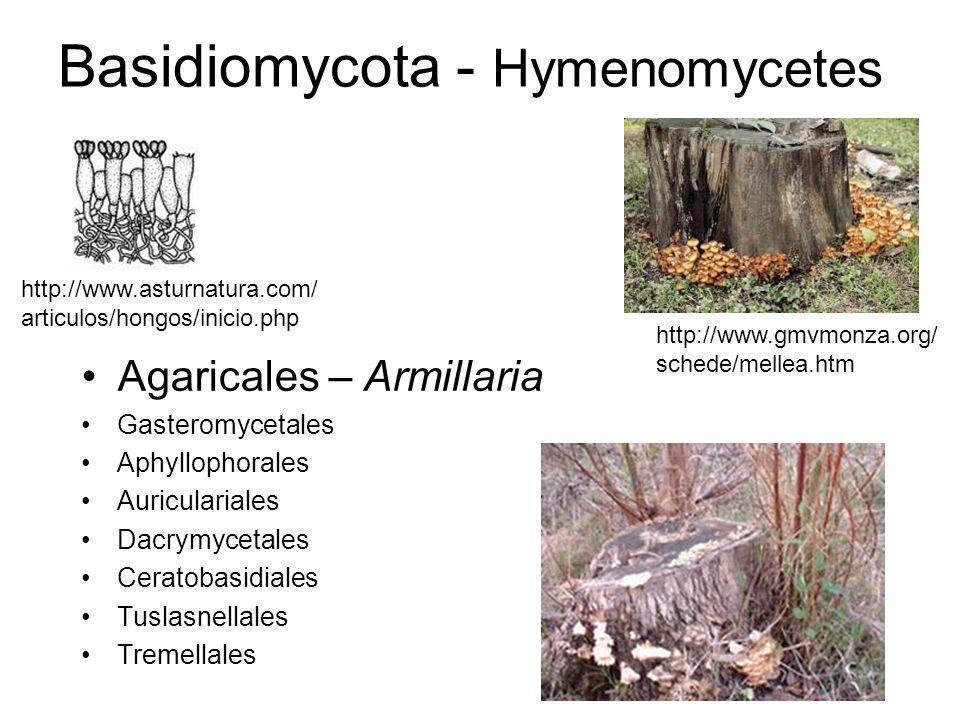 Basidiomycota - Hymenomycetes Aphyllophorales –podredumbre de madera: blanca y cúbica Dacrymycetales –podredumbre cúbica http://www.jgi.doe.gov/education /bioenergy/bioenergy_5.html