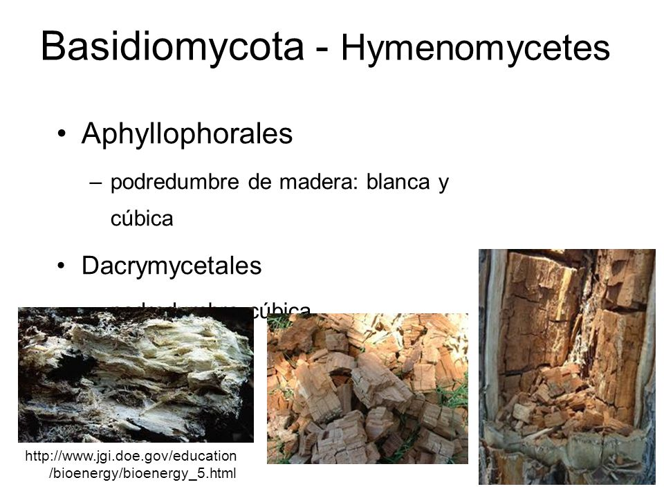 Basidiomycota - Hymenomycetes Ceratobasidiales –Thanatephorus cucumeris http://www.viarural.com.ar/vi arural.com.ar/agricultura/aa- enfermedades/rhizoctonia- solani-arroz-01.htm http://bugs.bio.usyd.edu.au/learnin g/resources/Mycology/Reprodn_Di spersal/compatibility.shtml http://m.greenplantprotection.eu/dise ases/field_crops/umbelliferae_crops/ celery/damping_off