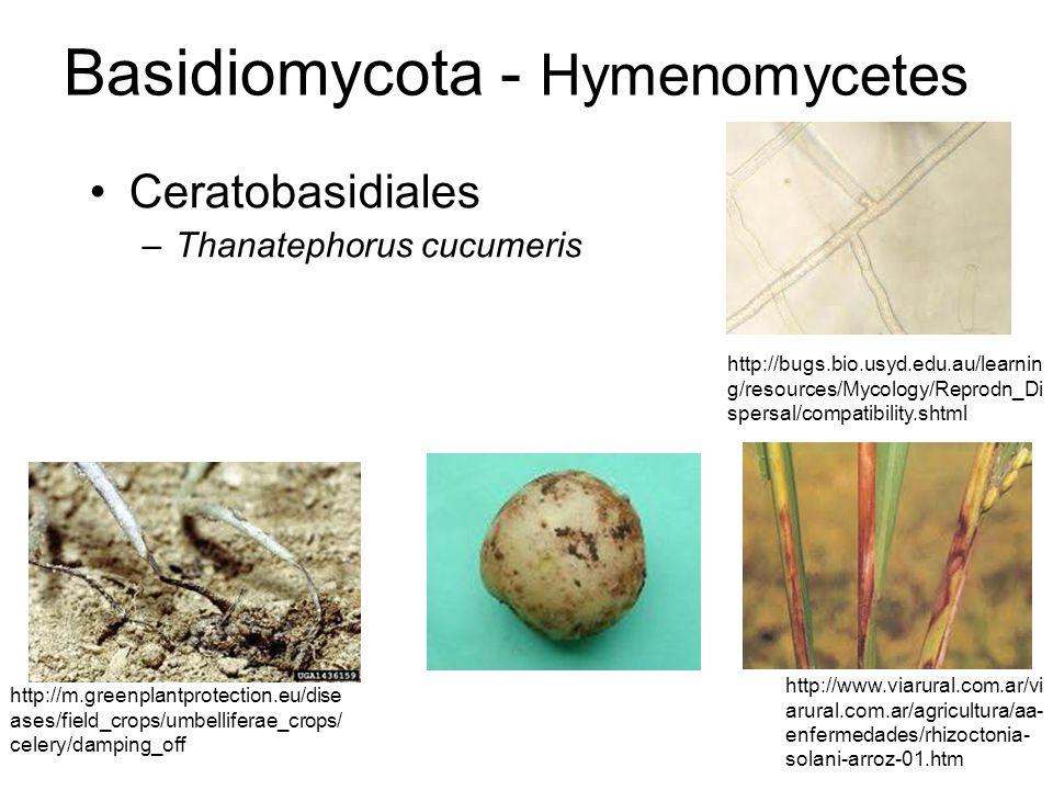 Claves para identificar hongos: Hongos imperfectos (Deuteromycetes) Ascomycetes Hongos de suelo Oidios Royas Géneros: Phytophthora, Fusarium