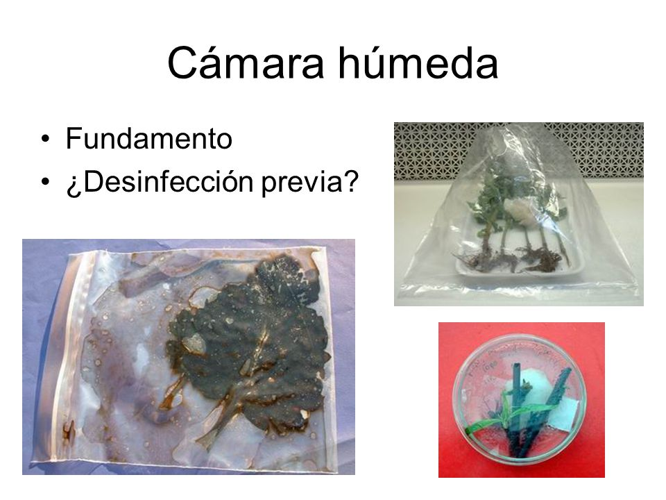 Inducción de esporulación Luz ultravioleta Material vegetal: –Huésped –No huésped Phytophthora y Pythium - trozos (2x3mm) en extracto de suelo estéril