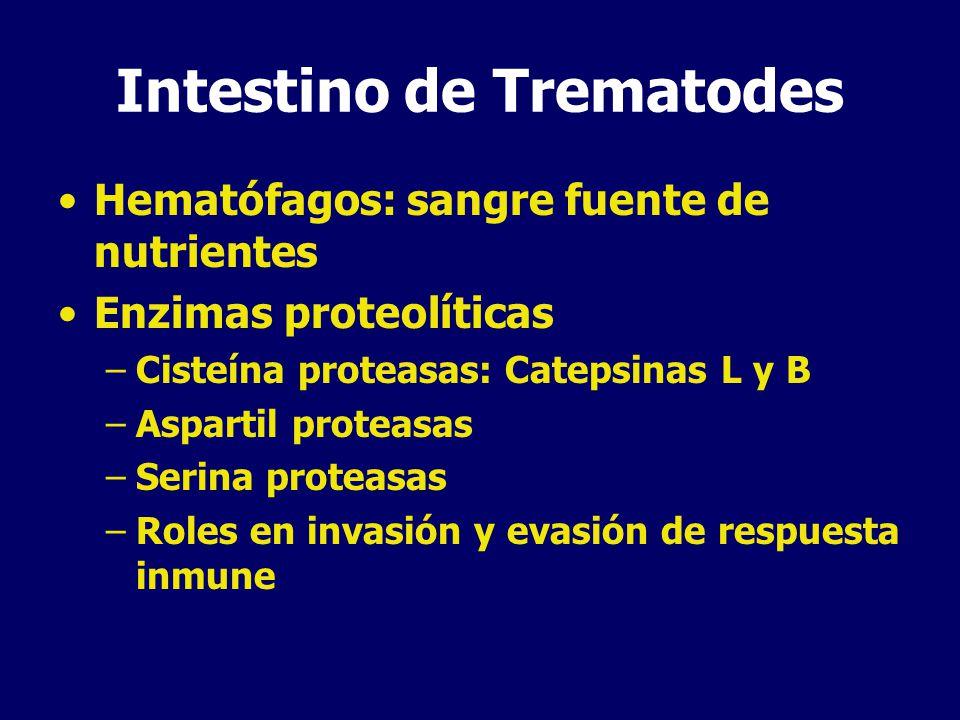 Tegumento de Trematodes Rol absortivo favorecido por canales, pits, invaginaciones Transportadores de glucosa y peptidasas Absorción de colesterol y otros lípidos Receptor de LDL humana: evasión