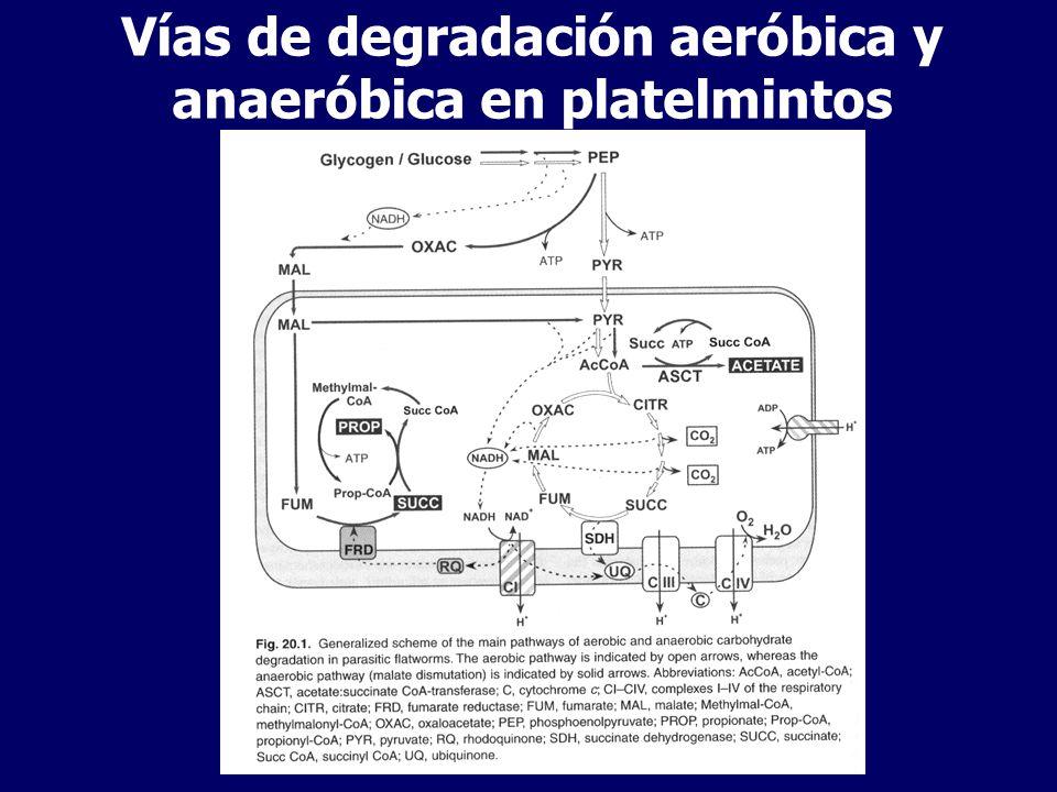 Estadíos de vida libre Degradan reservas endógenas a CO2 vía glicólisis clásica y ciclo de Krebs Glucosa - Piruvato (citosol) – ACoA (mitocondria)- Krebs ATP producido por cadena respiratoria y fosforilación oxidativa