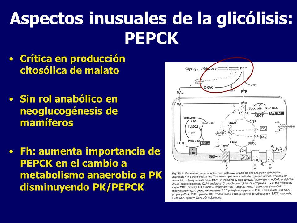 Aspectos inusuales del metabolismo mitocondrial Por dismutación del malato los distintos organismos producen variados metabolitos finales pero tienen vías mitocondriales muy similares Operan una porción del ciclo de Krebs (OXA a SUCC) y en algunos casos β-oxidación en dirección opuesta a los organismos aeróbicos Diferencias con mitocondrias aeróbicas: –i) la enzima que cataliza la conversión de fumarato a succinato –ii) la quinona que conecta esta transferencia de e - al complejo enzimático en la cadena de transporte de e - –Iii) la presencia de la ASCT que convierte acetil-CoA en acetato