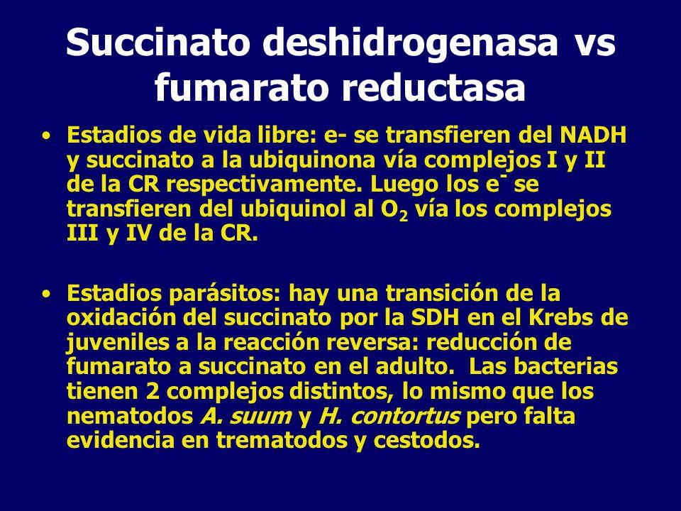 Ubiquinona versus rodoquinona En bacterias se utiliza menaquinona cuando el fumarato es el aceptor final de e- En helmintos parásitos se demostró la presencia de rodoquinona sugiriendo que el rodoquinol funciona como donante de e- en la reducción del fumarato Fh: la cantidad de rodoquinona durante el ciclo se correlaciona con la importancia de la reducción del fumarato y ubiquinona con el metabolismo aerobio.