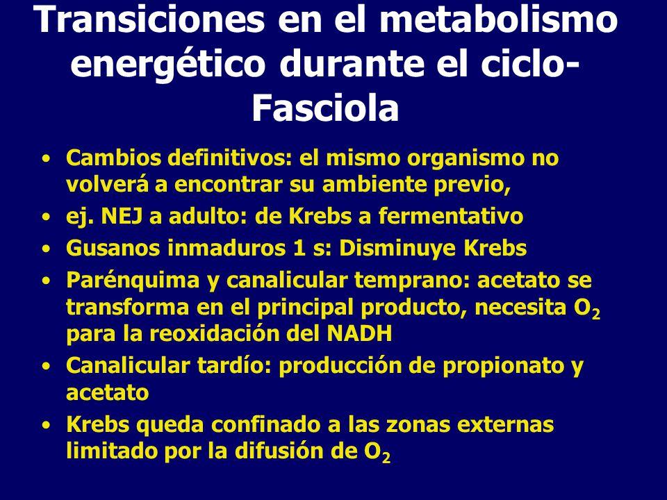 Transiciones en el metabolismo energético durante el ciclo- Schistosoma Cercarias: metabolismo aeróbico Adultos: fermentativo a lactato, aunque persiste Krebs y fosforilación oxidativa Cambio se produce por el ingreso a un medio con glucosa captada por SGTP4 Esporocistos: anaerobios facultativos, succinato via dismutación del malato en situaciones de anaerobiosis.