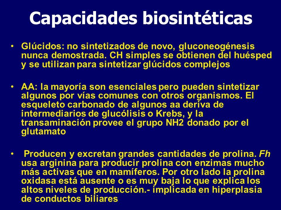 Metabolismo lipídico- AG Fosfolípidos, triacilgliceroles y colesterol no pueden ser sintetizados de novo por los paltelmintos: se obtienen directamente del huésped (colesterol) o se sintetizan desde bloques básicos (ácidos grasos) AG no se degradan para obtener ATP AG del parásito se producen por modificación de los AG del huésped Fh: no puede producir insaturados pero puede usar acetato para elongar la cadena de AG AG con o sin elongación se incorporan a los fosfolípidos y triacilgliceroles